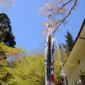 Photos: 山桜と鯉のぼり