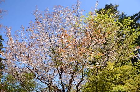 霊宝殿前の山桜