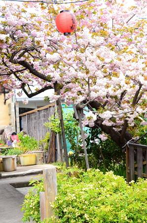 普賢象と黄木香薔薇