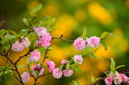 庭桜(ニワザクラ)