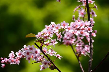 蝦夷の上溝桜(エゾノウワミズザクラ)