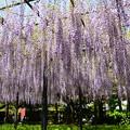 Photos: 紫のシャワー
