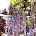 Photos: 阿弥陀堂を背景に