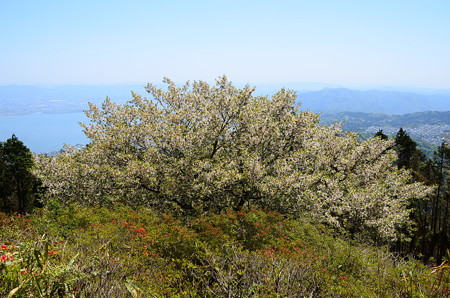 琵琶湖を背景に咲く大島桜