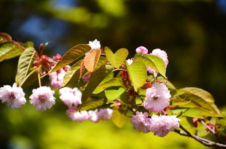 バスセンター脇の桜