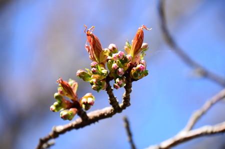まだ蕾の桜~