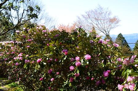 こもれびの丘の石楠花(シャクナゲ)