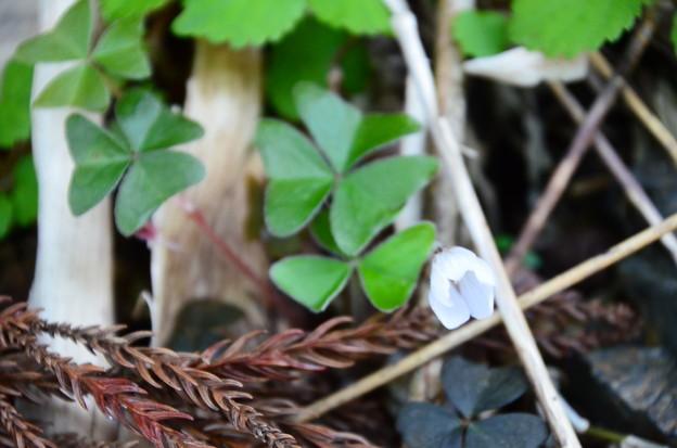 深山酢漿草(ミヤマカタバミ)