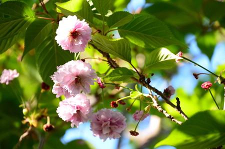 太田桜(オオタザクラ)