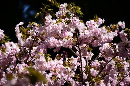 文殊塔奥の桜