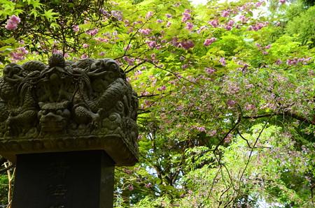 文殊塔脇の八重桜
