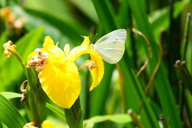 黄菖蒲に止まる紋白蝶(モンシロチョウ)