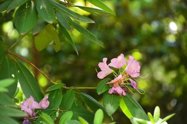 咲き残った石楠花(シャクナゲ)
