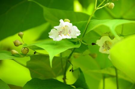 アメリカ木大角豆(アメリカキササゲ)