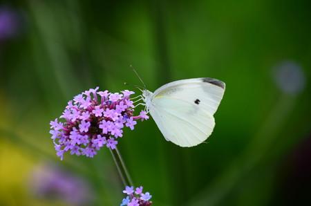 サンジャクバーベナに止まる紋白蝶(モンシロチョウ)