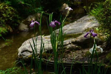 南神苑(平安の庭)の花菖蒲