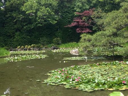 睡蓮と春もみじの蒼龍池