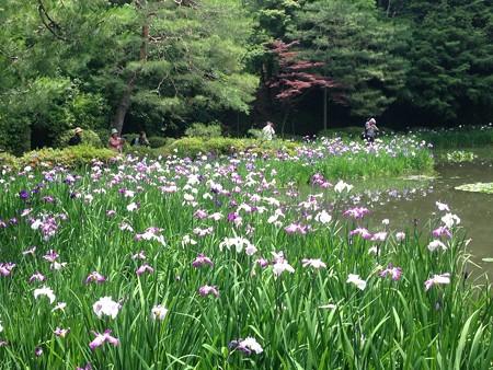 花菖蒲と春もみじ