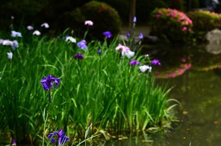 花菖蒲と皐月