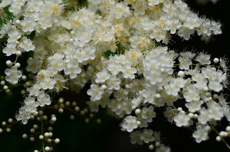 穂咲き七竃(ホザキナナカマド)