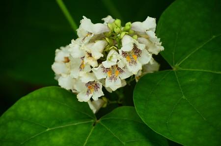 花木大角豆(ハナキササゲ)