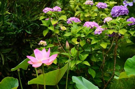 蓮と紫陽花の法金剛院
