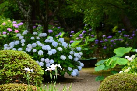 紫陽花を背景に咲く花菖蒲