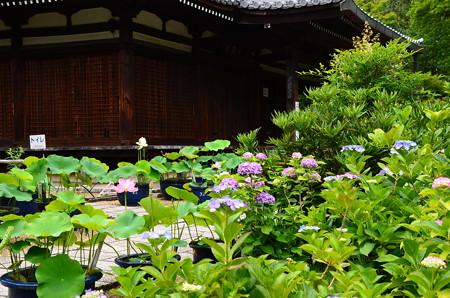 本堂前の蓮と紫陽花
