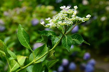 蜜柑葉紫陽花(ミカンバアジサイ)