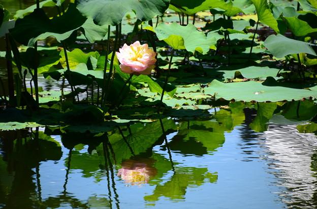 池に映る蓮