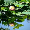 Photos: 池に映る蓮