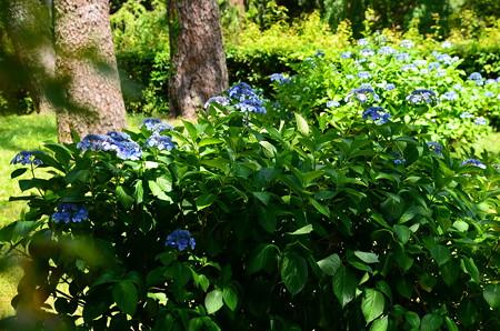 京都御苑の紫陽花