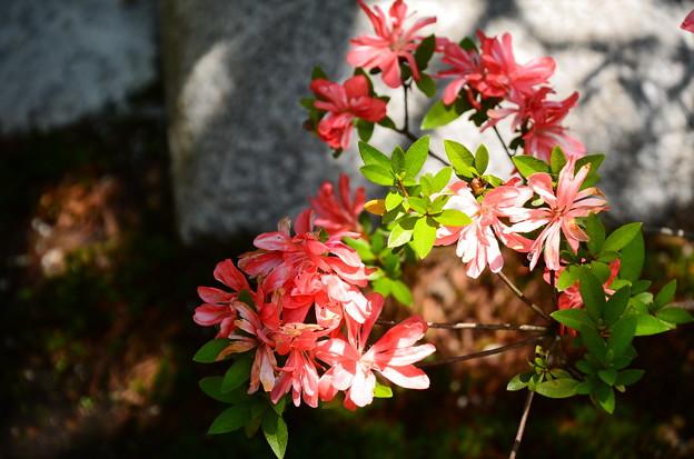 宗像神社の皐月(サツキ)