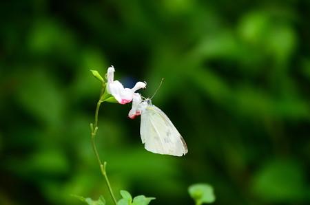 サルビアミクロフィラに止まる紋白蝶