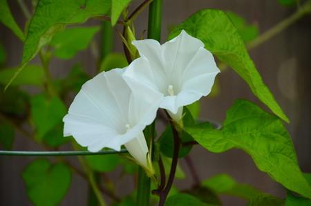 黄渦芋葉白渦川咲
