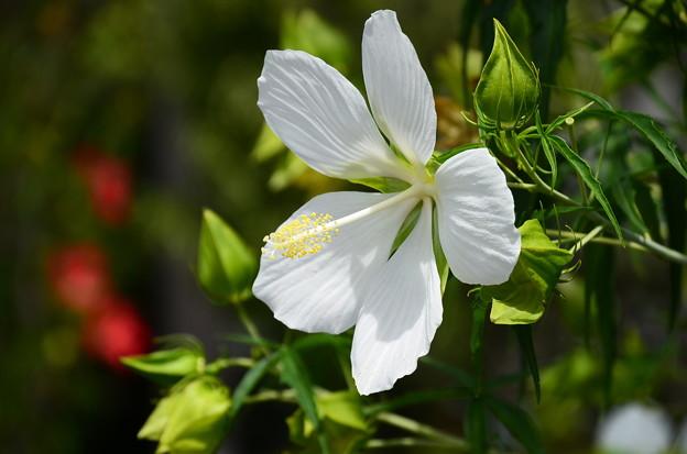 紅葉葵(モミジアオイ)
