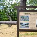台風被災のヒマラヤ杉古木