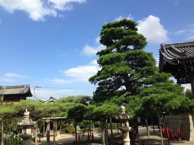 本福寺の松