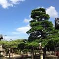 Photos: 本福寺の松