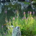 曹源池脇の禊萩(ミゾハギ)