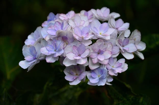 まだ綺麗な紫陽花