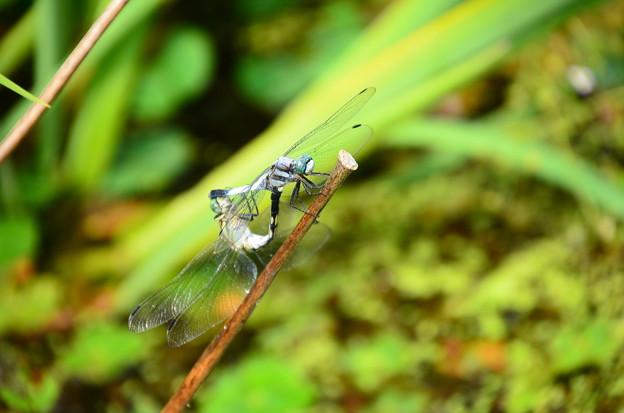塩辛蜻蛉のカップル