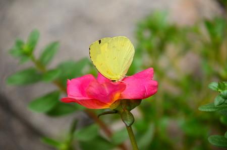 ポーチュラカに止まる黄蝶(キチョウ)