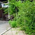 Photos: 本殿前の萩