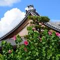 Photos: 本堂前の芙蓉(フヨウ)