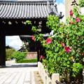 Photos: 山門前の芙蓉(フヨウ)
