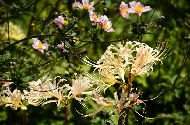 白花彼岸花とアネモネ・トメントサ