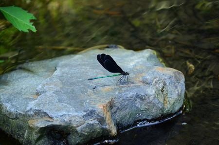 羽黒蜻蛉(ハグロトンボ)