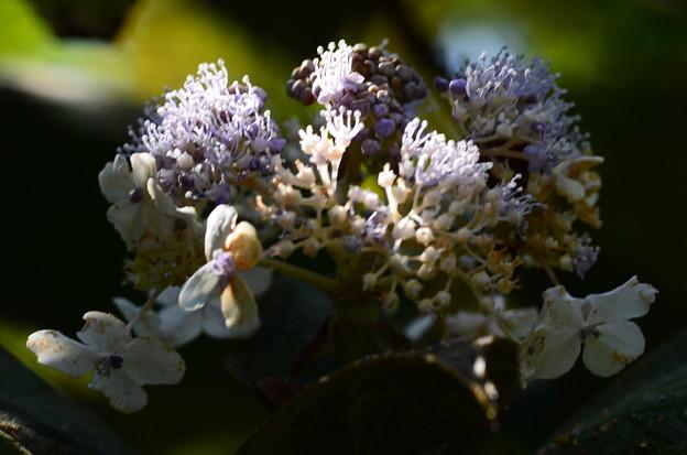 羅背板玉紫陽花(ラセイタタマアジサイ)