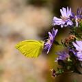 野紺菊に止まる黄蝶(キチョウ)